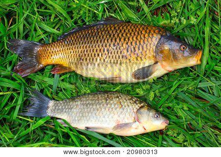 Crucian Carp(Carassius carassius) and Common carp (Cyprinus carpio)