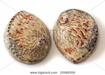 Haliotis Sea Shell Isolated On White