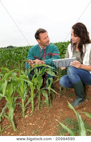 Farmer and researcher analyzing corn plant