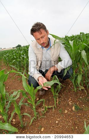Agronomist looking at corn plant in field