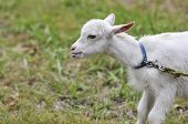 stock photo of cashmere goat  - goat kid portrait - JPG