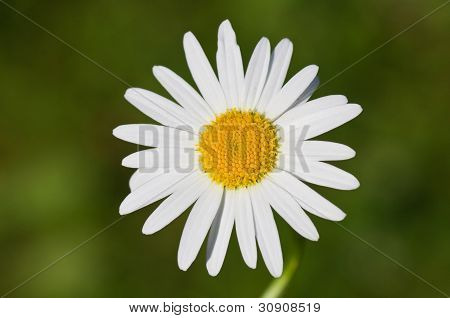 Closeup Of A Beautiful  Marguerite, Daisy Flower