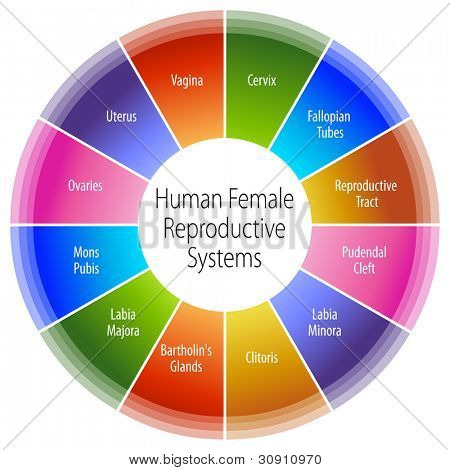 An image of a human female reproductive systems chart.