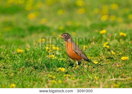American Robin Hunting On A Dandelion Meadow