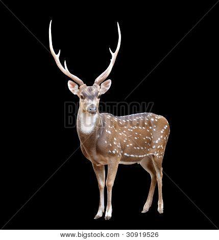 Male Axis Deer
