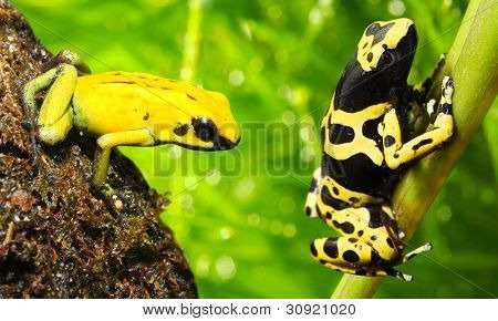 The frogs (Dendrobates)