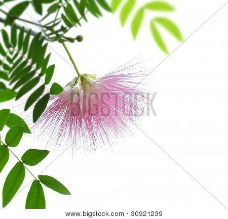 Blushing Sunburst Blossom On White Background