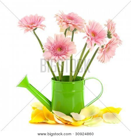 Green watering can with pink Gerber flowers isolated over white background