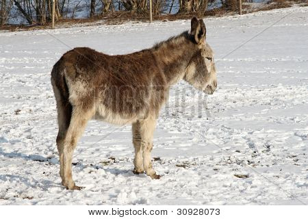 Donkey In Snow