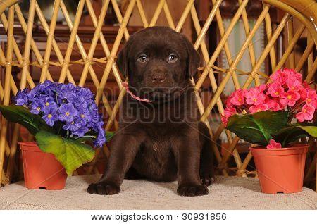 Cachorro Labrador en la silla