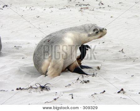 Seal13