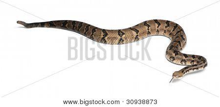 Timber rattlesnake - Crotalus horridus atricaudatus, poisonous, white background