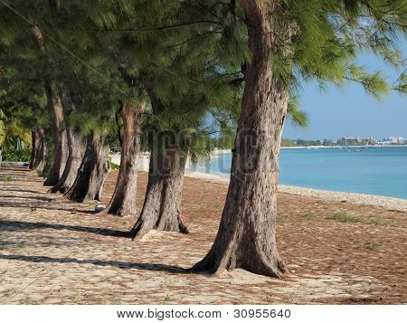 Casuarina Trees Seven Mile Beach