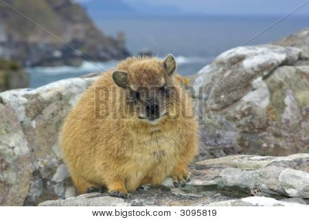 African Rock Hyrax - Dassie, Like Groundhog But Elephant Relative