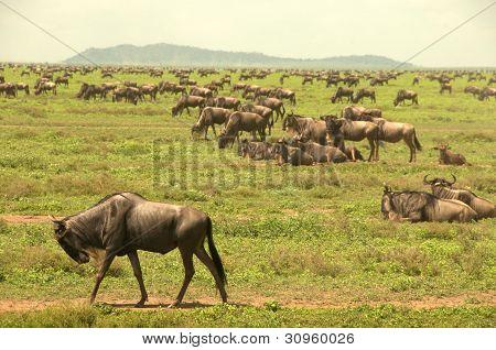 Wild wildebeest herd in the Serengeti
