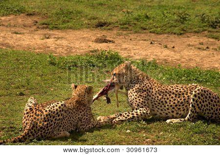 Two wild cheetahs eating a rabbit
