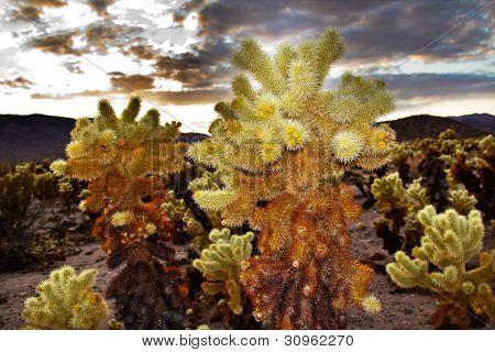 Jeolla Cactus jardim Mojave Desert Parque Joshua Tree National Califórnia
