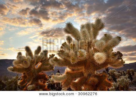 Cholla Cactus Garden Sunset Mojave Desert Joshua Tree National Park
