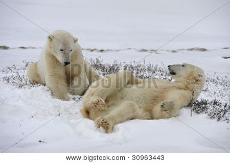 Polar Bears Playfool On The Snow.