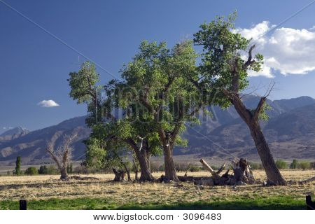 Owens Valley Tree Line