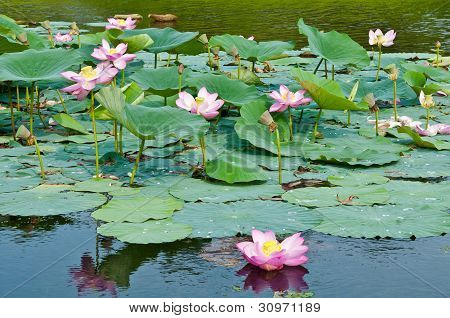 Sacred lotus flower living fossil