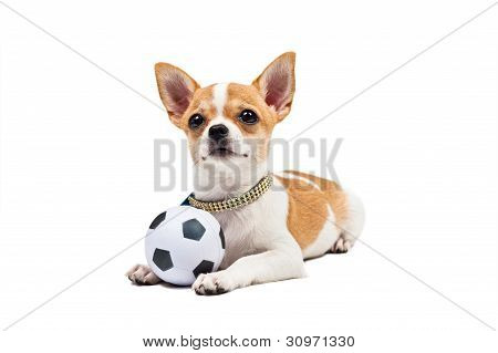 Pomeranian Dog, Young Puppy, Lies Down With Football