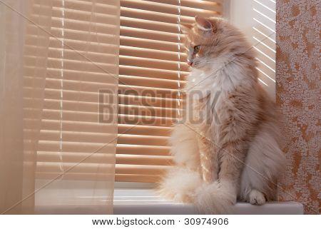 Siberian cat on the windowsill
