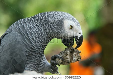 grey parrot eating