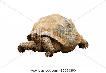 An Aldabra Giant Tortoise (Geochelone gigantea) chewing grass