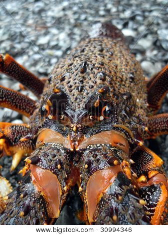 Lobster - New Zealand