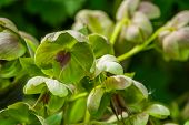 Hellebore Flowers In Macro Closeup, Evergreen Plant From Eurasia, Popular Cultivated Plant In Hortic poster