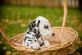 Adorable Dalmatian Dog Outdoors In Summer, Autumn.dalmatian, Cute Small Puppy In Basket.cute Small D poster