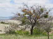 Mistletoe. An Evergreen Parasitic Shrub That Lives At The Expense Of Other Trees. Mistletoe Bushes C poster