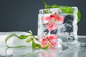 stock photo of water lilies  - Lilies with ice - JPG