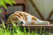 Dog Beagle Lying And Dozing On Sunny Wooden Deck. Female Beagle Outdoor poster