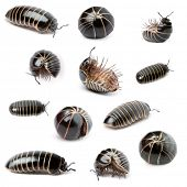 stock photo of millipede  - Collection of Glomeris marginata - JPG