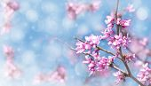 image of judas tree  - Dreamy image of an Eastern Redbud flowering in early spring - JPG