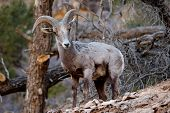 image of grand canyon  - Male mountain goat in the wild Grand Canyon National Park Arizona - JPG