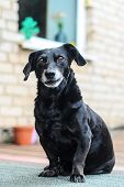 Portrait Of An Old Tired Black-haired Dachshund Dog In The Backyard. Domestic Dog With A Gray Muzzle poster