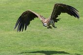 The Griffon Vulture (gyps Fulvus)  Take Off From The Ground Showing Its Huge Wings And Walking Acros poster