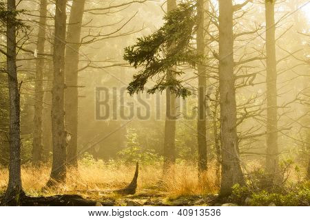 Morning Forest - Acadia National Park