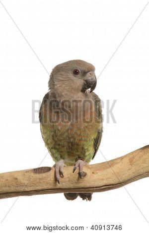 Maximillian Pionus Parrot
