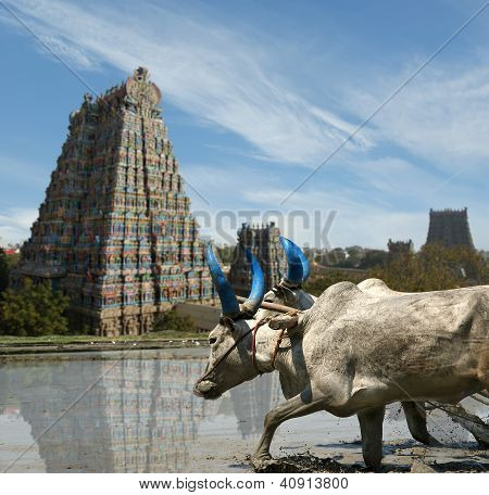 Buffaloes In The Rice Fields On The Background Of Meenakshi Hindu Temple In Madurai, Tamil Nadu