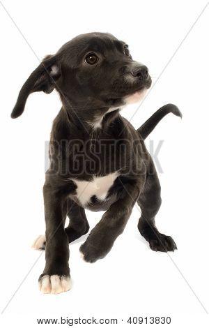Labrador German Shepherd Mix Puppy