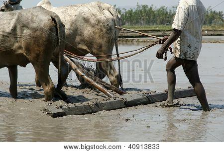 Kerala, South India, March 10: Kerala, South India,  March 10, 2011.  Farmer Treats Rice Field Buffa