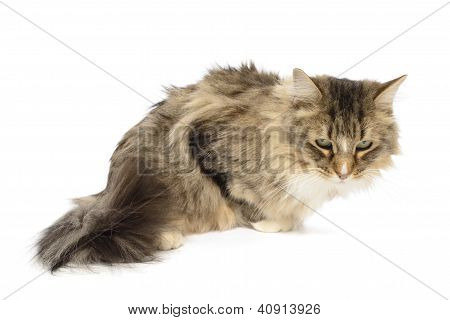 Long Haired Domestic Maine Coon Cat