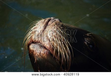 Eared seal (Otariidae) looks out of the water