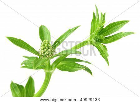 Flower long coriander
