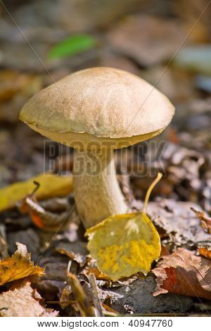 Autumn forest eatable mushroom close-up