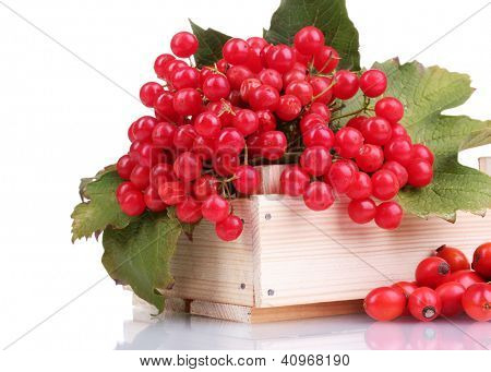 red berries of viburnum in wooden box and briar isolated on white